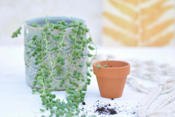 Die Erbsenpflanze - Pflege und Vermehrung