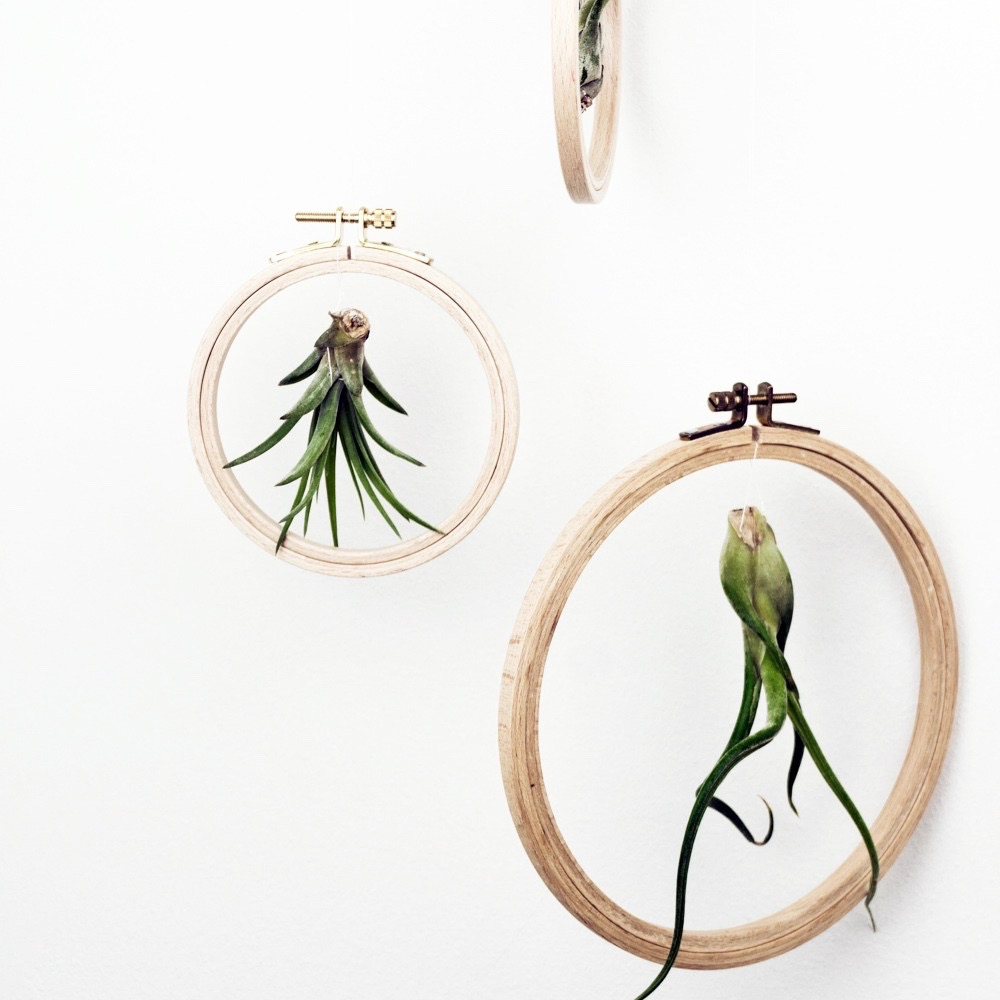 Tillandsien die trendigen luftpflanzen pflegetipps und - Tillandsien deko ...