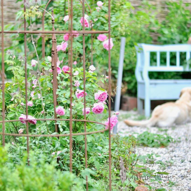Gartenrosen