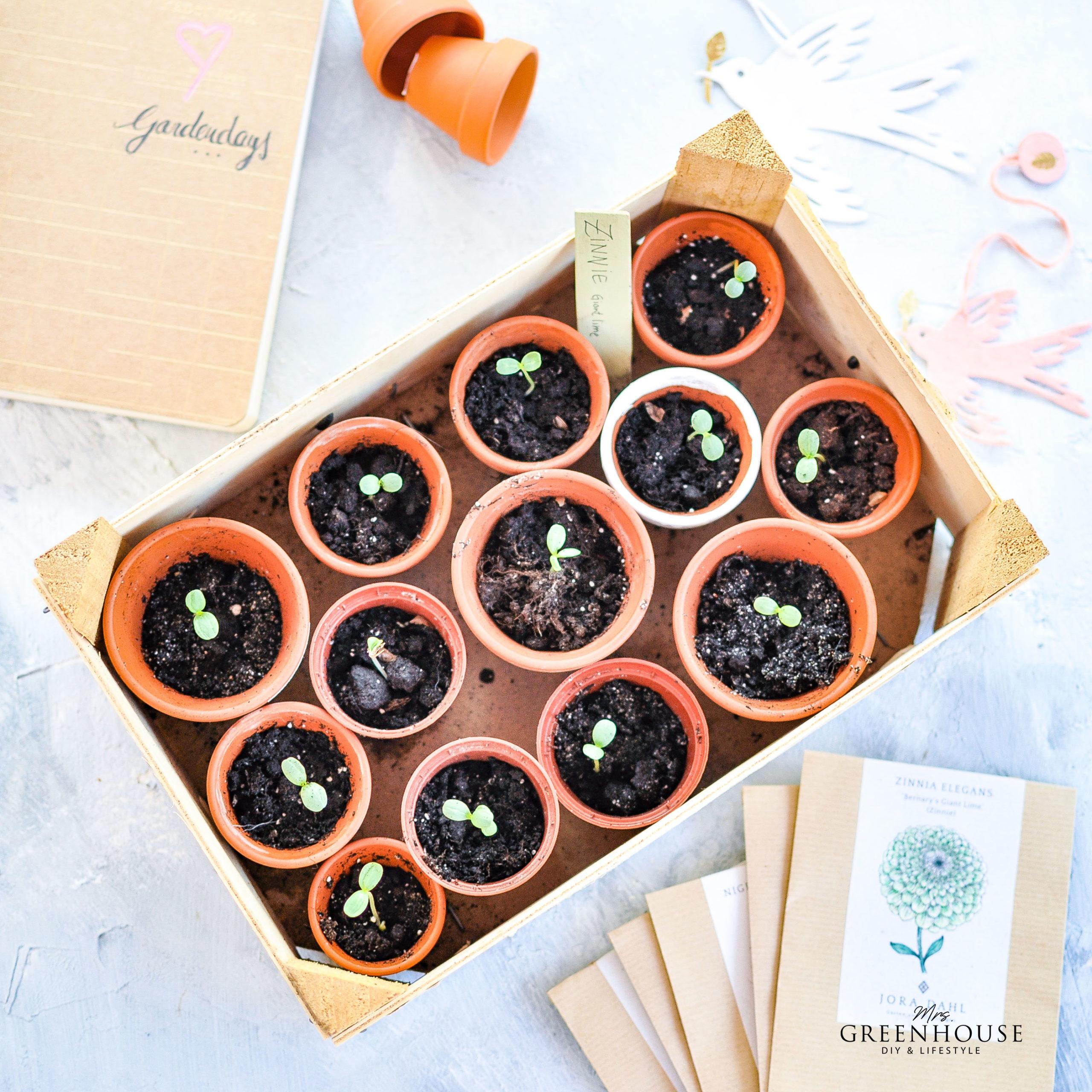Kleine Töpfe mit vorgezogenen Trochenblumenpflanzen