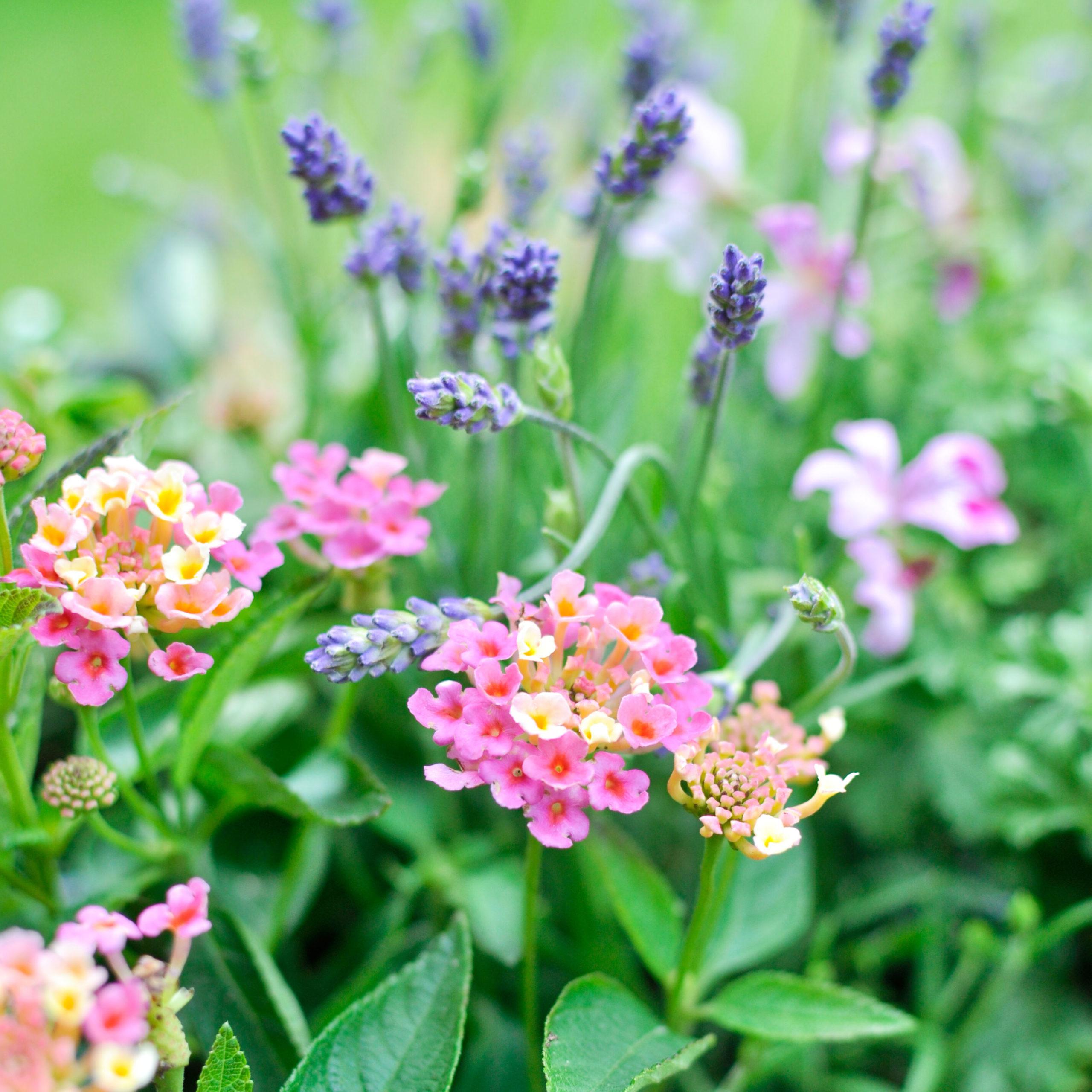 Duftblumen für Hochbeet