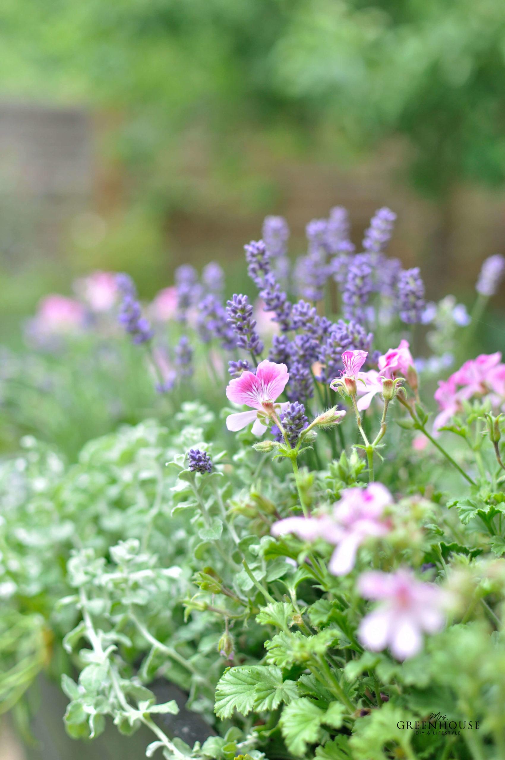 Duftblumen für Pflanzkästen