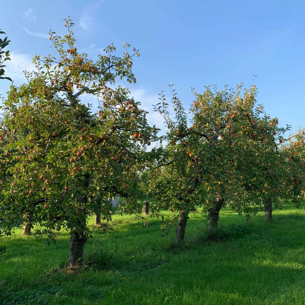 alte Apfelbäume im Alten Land