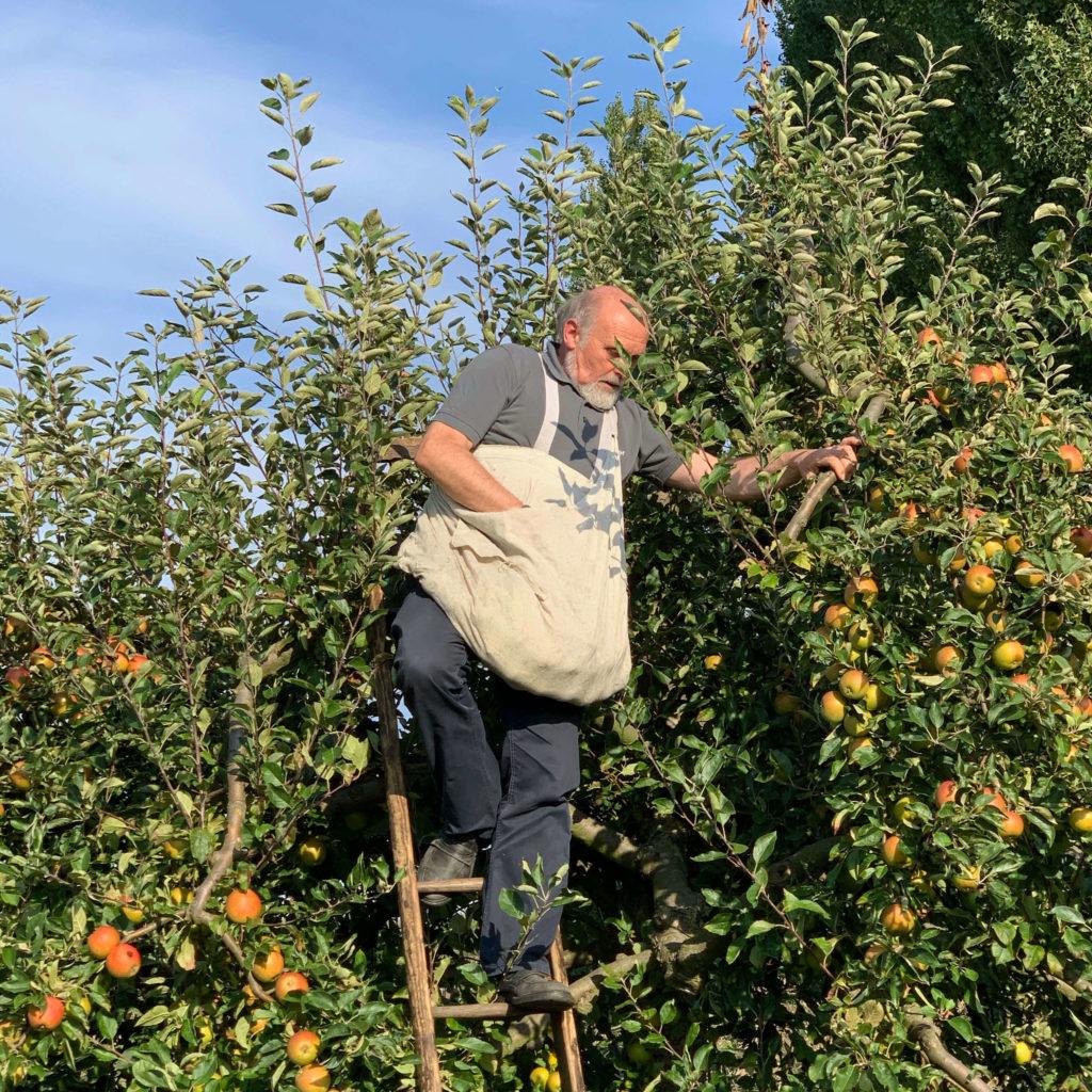 Apfelernte vor 100 Jahren