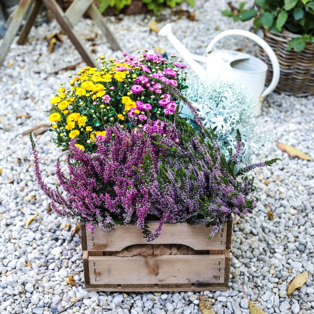 Heidekraut und Chrysanthemen